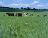 Seed - Rye Grass