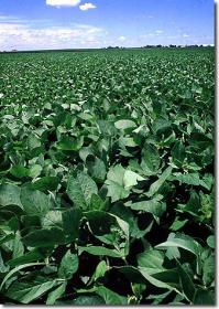 Seed - Soybeans