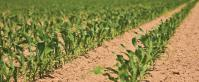 Seed - Corn